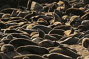 Cape fur seals (Arctocephalus pusillus pusillus) Tsau-ǁKhaeb-(Sperrgebiet)-Nationalpark, Namibia | Kap-Pelzrobbe (Arctocephalus pusillus pusillus), auch Südafrikanischer Seebär genannt in der Baker's Bay. Sperrgebiet National Park, Namibia