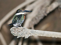 Green kingfisher, Chloroceryle americana, on a branch beside the Tarcoles River, Costa Rica