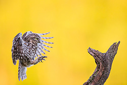 © London News Pictures. 12/05/2015. Beaconsfield. UK. Photographer Ian Schofield spent hours at a secret location near Beaconsfield in Buckinghamshire capturing these amazing images of little owls. The Little owl was introduced to the UK in the 19th century. It can be seen in the daylight, usually perching on a tree branch, telegraph pole or rock. The RSPCA Breeding Bird Survey data suggest that Little owl numbers are declining, with the UK population estimated to be down by 24 per cent between 1995 and 2008. There are believed to be 5,700 pairs in the UK. Photo credit: Ian Schofield/LNP