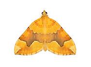 70.085 (1765)<br /> Barred Yellow - Cidaria fulvata