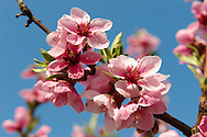 Stock Photos of  pink apricot  blossom in an apricot tree orchard. Funky stock photos library