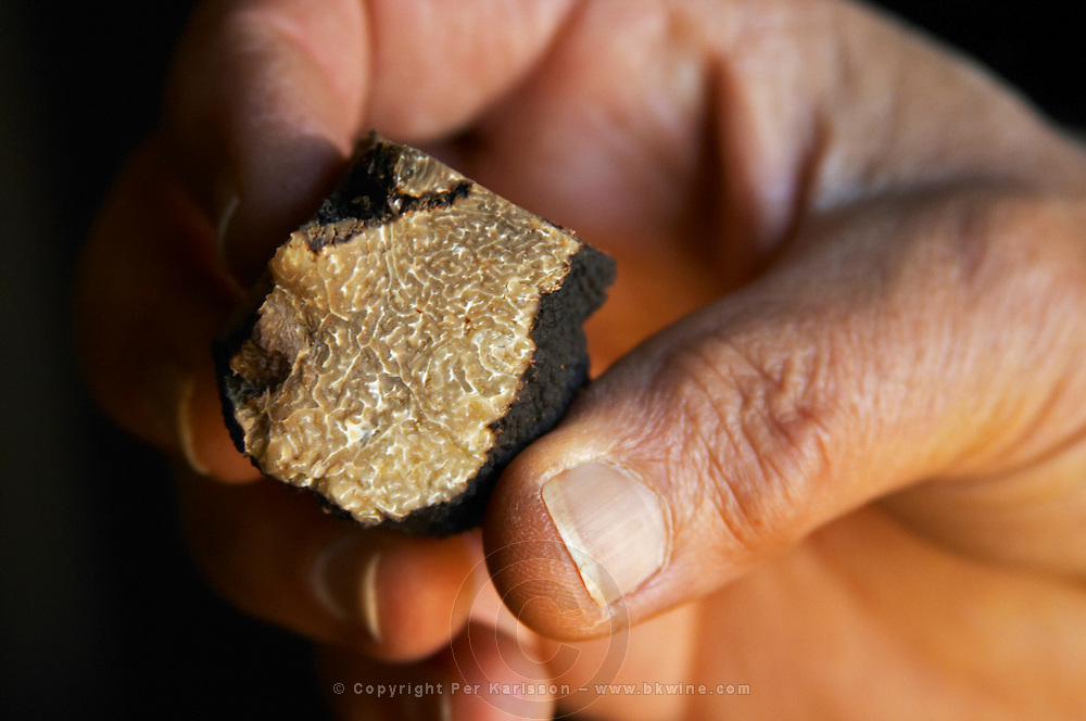 Hugues Martin, the owner of the truffles farm holding a fresh Perigord truffle in his hand showing how the inside is coloured black and white when you cut it Truffiere de la Bergerie (Truffière) truffles farm Ste Foy de Longas Dordogne France