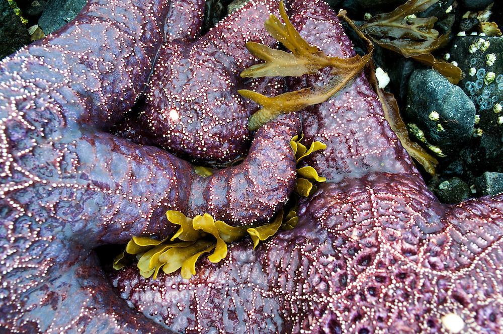 Two shades of Purple Ochre Seastar (Pisaster ochraceus) on Hood Canal, Washington.