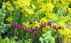 Dutch Iris 'Red Ember' in front of Euphorbia palustris