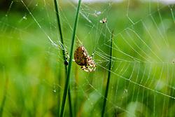 viervlekwielwebspin, Araneus quadratus
