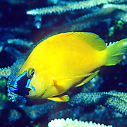 Caribbean Sea Bass/Hamlet