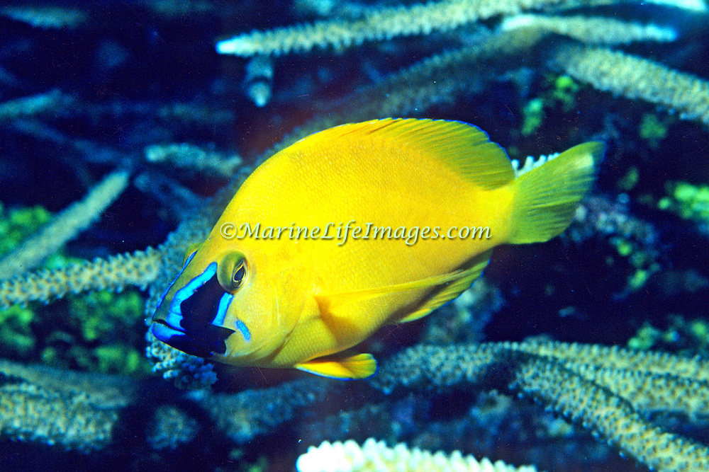 Golden Hamlet inhabit reefs and are rare in Caribbean and Bahamas; picture taken Grand Cayman.