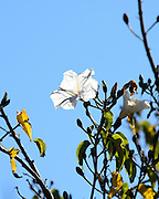 The white flower of a casahuate tree (Ipomoea pauciflora) is backlit against a clear blue sky at Monte Alban, Oaxaca, Mexico.