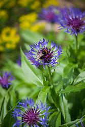 Bee on Centaurea montana. Great blue-bottle, <br /> Mountain bluet, Mountain centaury, Perennial cornflower