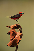Vermilion Flycatcher (Pyrocephalus rubinus)<br /> Savannah<br /> Rupununi<br /> GUYANA. South America<br /> RANGE: Southwestern United States, Central America, and northern and central South America, and southwards to central Argentina; also in the Galapagos Islands.