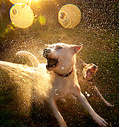 Two dogs play with the water from the hose .