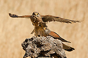 Common kestrel (Falco tinnunculus) female flies off with a chameleon caught by the male. This bird of prey is a member of the falcon (Falconidae) family. It is widespread in Europe, Asia, and Africa, and is sometimes found on the east coast of North America. Photographed in