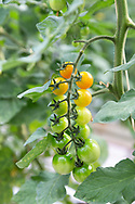 Cherry tomatoes growing at The Sahara Forest Project on the outskirts of Aqaba, on Jordan's southern Red Sea coastline. The farm uses desalinated sea water and greenhouses to sustainably farm crops in land that was once aris desert.