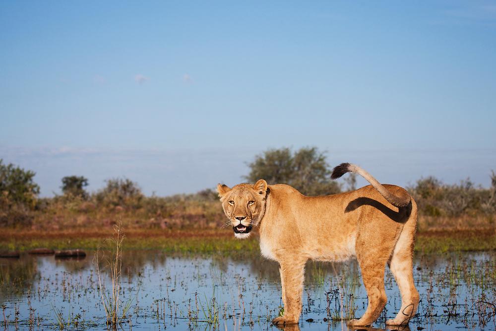 Alioness walking standing in a water hole  (Panthera leo), Kalahari Desert, Botswana Africa