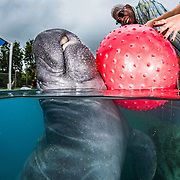An adult male manatee in a rehabilitation tank at the Manatee Conservation Center in Puerto Rico. Among other issues this manatee is negatively buoyant and will use the red ball to help him float.
