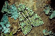 Merveille du jour moth, Dichonia aprilina, camouflaged against lichen on bark of tree, UK, beautiful pattern