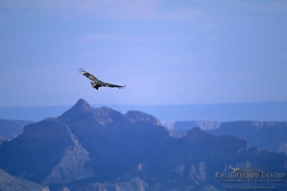 California Condor (Gymnogyps californianus), Grand Canyon National Park, Arizona