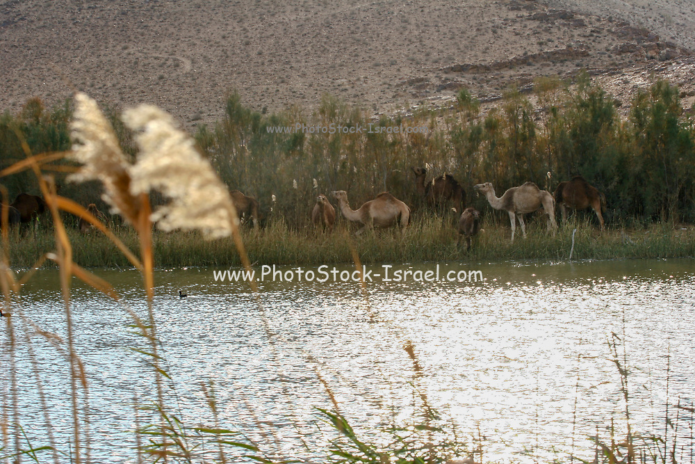 Israel, Camels graze on the shore of the lake in Yeruham park in the Negev Desert