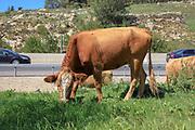 Cattle graze in a field near a busy road