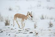 Pronghorn antelope doe running during winter