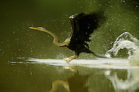 Anhinga or Snake Bird (Anhinga melanogaster) bursting from the water to take off (sequence - 2 of 4).Kinabatangan Wildlife Sanctuary, Borneo Island.