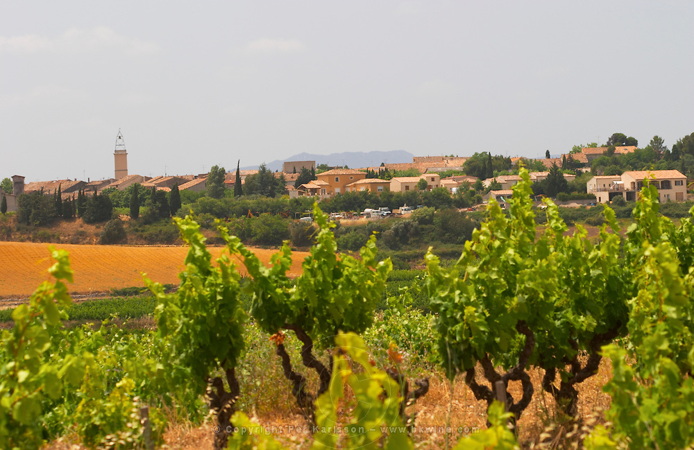 Domaine d'Aupilhac. Montpeyroux. Languedoc. Old, gnarled and twisting vine. France. Europe. Vineyard.