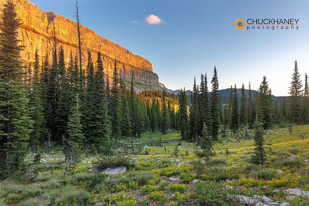 Mountain buttercup wildflowers along the Chinese Wall in the Bob Marshall Wilderness, Montana, USA