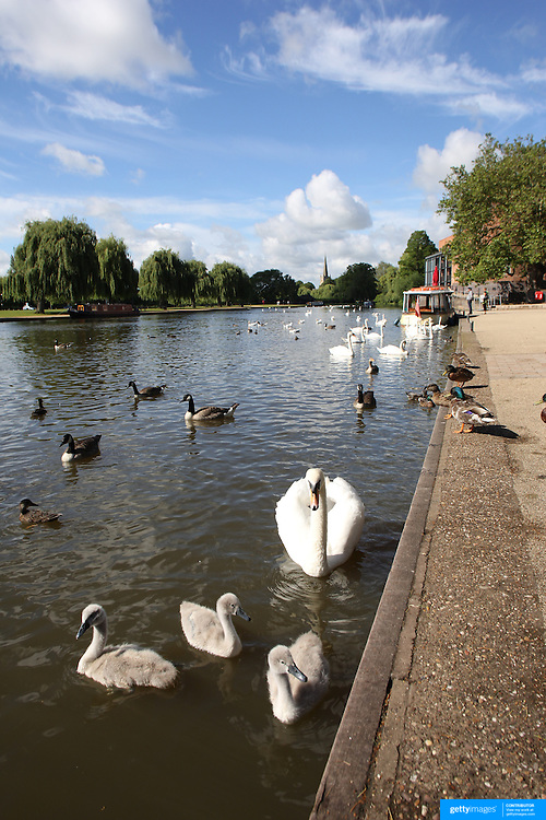 Swans on the River Avon at Stratford-upon-Avon, a market town and civil parish in south Warwickshire, England. It lies on the River Avon. The town is a popular tourist destination owing to its status as birthplace of the playwright and poet William Shakespeare, receiving about 3 million visitors a year. The Royal Shakespeare Company resides in Stratford's Royal Shakespeare Theatre. Photo Tim Clayton