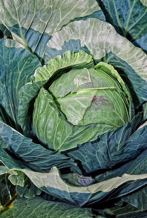 Cabbage ready for harvesting.