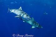 tiger sharks ( Galeocerdo cuvier ) North Shore, Oahu, Hawaii, USA ( Central Pacific Ocean )