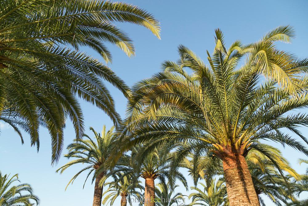 Low angle view of palm trees, Ajaccio, Corsica, France