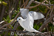 white tern or fairy tern, Gygis alba rothschildi, spreading its wings, Sand Island, Midway, Atoll, Midway Atoll National Wildlife Refuge, Papahanaumokuakea Marine National Monument, Northwest Hawaiian Islands, USA ( Central North Pacific Ocean )