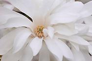 Magnolia stellata , a white magnolia with yellow centre in The Valley Gardens, Surrey, UK