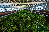 Tea leaves pass down a conveyor belt for sorting, Blue Field Tea Factory, Ramboda, near Nuwara Eliya, Central Province, Sri Lanka.