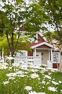 Prästkragar i en trädgård i den japanska byn Sweden Hills. Hokkaido, Japan