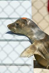 California Sea Lion, Marine Mammal Rescue