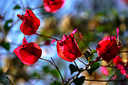 red flowers of a Bougainvillea bush close up