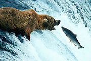 """Grizzly bear fishing for silver salmon in the Brooks River this """"leap of faith"""" didn't work so well for the salmon - Alaska."""