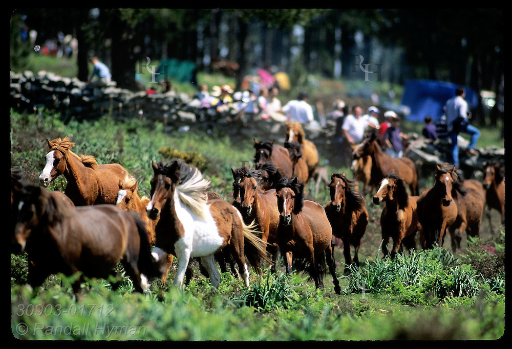 Wild horses, arriving from high-country pastures at annual roundup, sprint final leg to corral in mountains of southern Galicia; Spain.