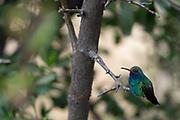 Photograph of a Broad-billed Hummingbird in Madera Canyon AZ