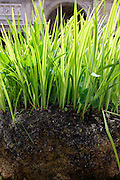 tall grass growing on a clump of soil