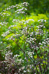 Anthriscus sylvestris 'Ravenswing' (Black - leaved Cow parsley) in front of  Euphorbia ceratocarpa (Spurge)