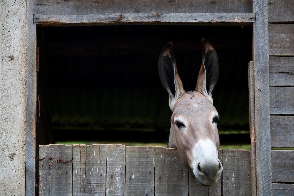 Conceicao do Castelo_ES, Brasil...Cocheira com burros e jumentos ao lado rota Imperial...Donkeys in the stable next to Imperial route...Foto: LEO DRUMOND / NITRO