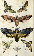 Plate I  1. Eyed Hawk-Moth. 2. Death's-Head. 3. Small Elephant. 4. Humming Bird. 5. Bee Hawk-Moth. 6. Hornet Moth. 7. Currant Cleanwing from the book ' The common moths of England ' by Wood, J. G. (John George), 1827-1889 Publication date 1878 in London : by G. Routledge and Sons