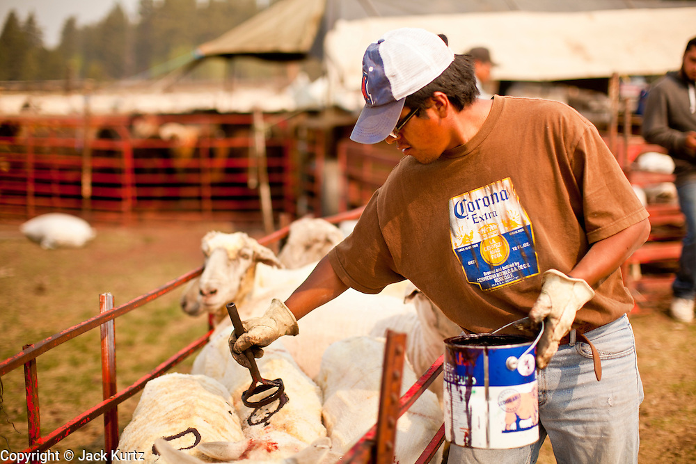 """05 JUNE 2011 - GREER, AZ: Hugo Rongora (CQ) brands sheep after they are shorn Sunday. The sheep are branded with paint because it doesn't hurt the sheep or the wool and as thee new wool coat grows out the paint remains visible while a traditional brand would not be seen. Mark Pedersen (CQ), of Sheep Springs Sheep Co, said they drove about 2,000 sheep from Chandler up to their summer pastures near Greer. They were supposed to start shearing on Friday, but didn't start till Friday because of the Wallow Fire. They also run cattle on land southeast of the sheep pasture, closer to Greer. Pedersen said they were prepared to move both the cattle and the sheep if they had to. He said the biggest problem with the smoke was that it bothered the sheeps' lungs much the same way it bother people's lungs. The fire grew to more than 180,000 acres by Sunday with zero containment. A """"Type I"""" incident command team has taken command of the fire.  PHOTO BY JACK KURTZ"""