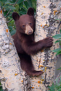 baby Black Bear (Ursus americanus) has found a good place to rest in the crotch of a tree.  Waterton Lakes NP, Canada