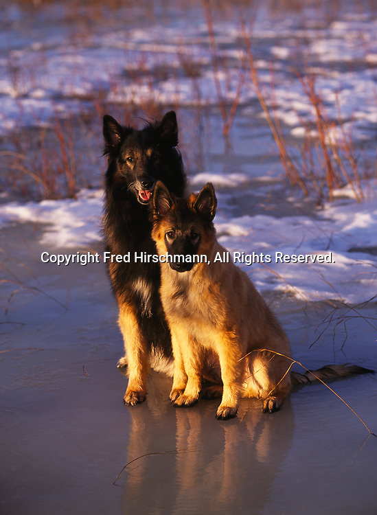 """Belgian Tervuren, AKC, 18.5-week-old puppy """"Ticket"""" and 8-year-old """"Justice"""" photographed on the Palmer Hay Flats and owned by Jane Knight Kmiecik of Chugiak, Alaska."""