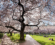 """Cherry trees flower in early April in Seattle, Washington, USA. The Yoshino cherry trees on """"the Quad"""" (Liberal Arts Quadrangle) of the University of Washington were a senior gift from the class of 1959. The trees were rescued from a construction site for the Evergreen Point Floating Bridge and moved to campus in 1964. Panorama stitched from 3 overlapping images."""