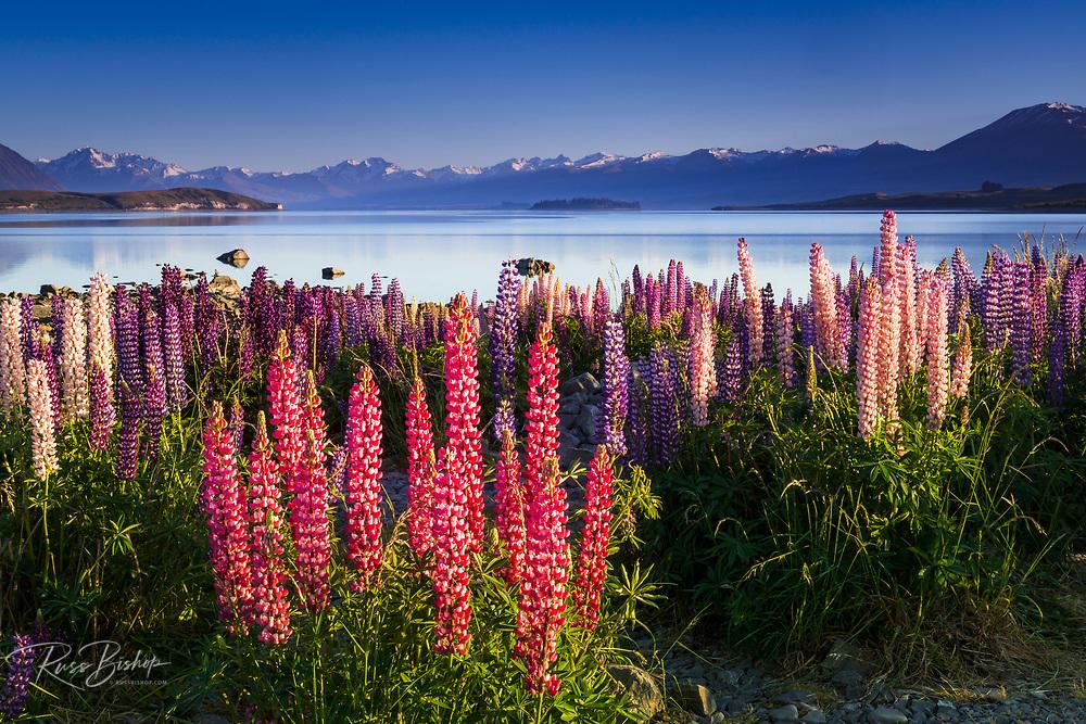 Morning light on lupine at Lake Tekapo, Canterbury, South Island, New Zealand