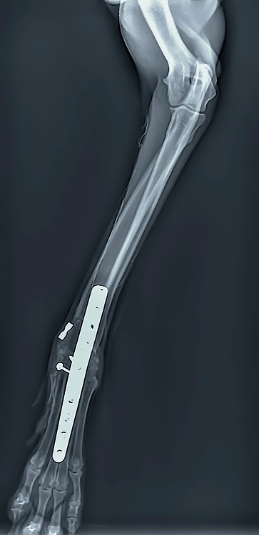 X-ray of a dog's front right leg at a veterinary surgery. Metal fixture and screws can be seen